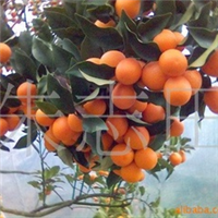 供应果树树苗