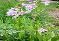 定州益�_苗圃出售紫玉簪