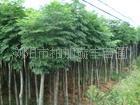 优惠大量供应12公分哒栾树 裸根哒栾树 截杆哒栾树