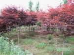 苗木大市场大量提供湖南红枫树 不同规格红枫树 乔木红枫
