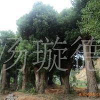 大量供应湖南大树--绿化树-香樟树乔木大树香樟 行道树 香樟