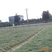 汤璇德长期大量提供地苗玉龙草 玉龙草优惠优质供应