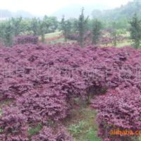 璇丰苗圃低价提供精品红桎木球 树形优美 价格实惠红花桎木