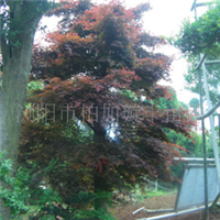 汤璇德大量提供湖南行道树枫树树形优美乔木湖南红枫湖南青枫