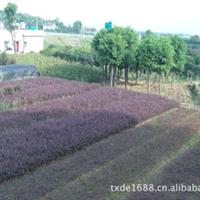湖南特色灌木20公分红继木 红花桎木大红双面红截杆造型桎木古桩
