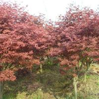 湖南苗木大市场大量提供湖南红枫树20公分树形优美的乔木红枫青枫