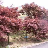 湖南苗木大市场大量提供湖南红枫树 不同规格红枫树 乔木红枫