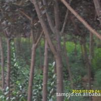 供应绿化苗木现货紫叶李,红叶李地径3厘米1500株