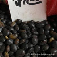 150元特卖优质国槐种子(中槐) 今年新采