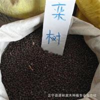 供应栾树种子 30/斤 量大从优