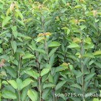 质优的各种早熟品种樱桃苗木专卖