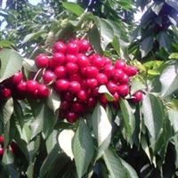 质优价廉品种早熟各种樱桃苗木专卖