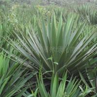 丝兰(剑麻)--园林绿化苗木地被类