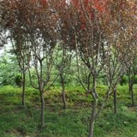 农户价--紫叶李---园林绿化彩叶树小乔木