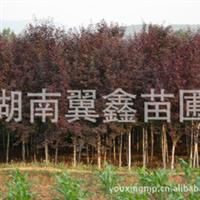 大量供应红叶李树 精品红叶李树
