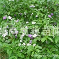 大量长期供应茉莉花树 精品茉莉花