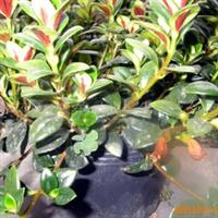 百合科,吊兰属的多年生草本植物,金鱼吊兰