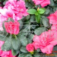 流行最广的名花西洋杜鹃