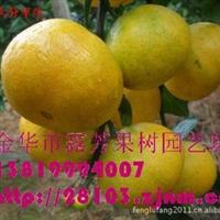 【超低价特供】高糖度特早熟大分1号桔苗特早熟桔子苗 早熟柑橘苗