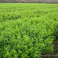 特价出售及名特水果种苗、桔子苗、梨苗、桃苗、樱桃  金华苗木