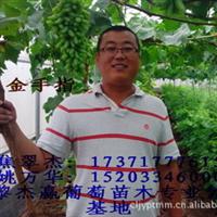 大棚葡萄高产技术资料,葡萄苗温室管理技术,温室大棚葡萄苗管理