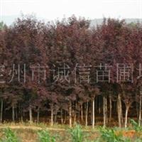 诚信苗圃场供应紫叶李;红叶李等等苗木花卉