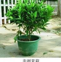 紫嫣苗木园艺场出售;非洲茉莉苗非洲茉莉盆栽非洲茉莉小苗