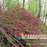 供应绿化苗木紫荆、紫藤、紫薇、紫叶李等绿化苗木