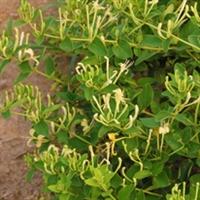 优质木本树形四季金银花苗木及中药材种苗