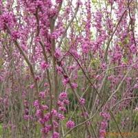 灌木 花卉 苗木 紫荆 红叶李 紫薇 紫藤