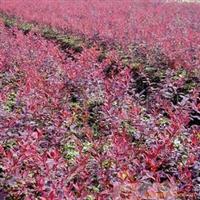 供应绿化色块绿篱植物紫叶小檗.紫叶小檗价格
