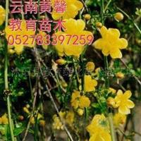 供应花卉连翘.迎春.迎夏.云南黄馨等匍匐型苗木