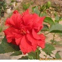 红花绿叶 【扶桑】 又名 芙蓉花