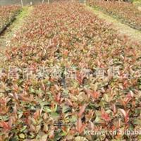 批发红叶石楠穴盘苗 绿化苗木灌木 优良品种 量大优惠