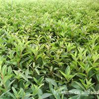 低价大批量直销彩色绿化绿篱花卉毛鹃