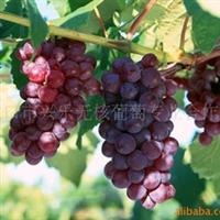 场价葡萄批发专业葡萄合作社自产 优质水果红珍珠无核葡萄