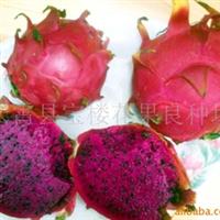 供应台湾红肉火龙果苗