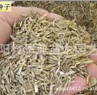 进口黑麦草种子 产量大 适口性好 全国适应种植 品种佳