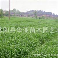 特价销售一年生小黑麦种 ,黑麦草牧草 适应性强 适口性好