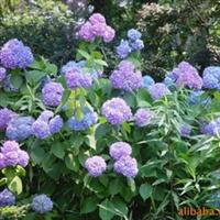 大量供��-   ���|八仙花