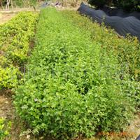 新�d苗圃出售���|�G化灌木芙蓉花