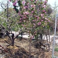 供应日本樱花