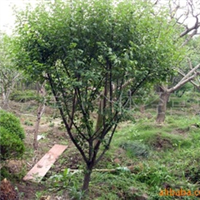 供应绿化苗木红梅树
