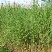 供应水生植物 芦苇