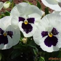 供应草花超级宾哥系列三色堇 金盏菊 雏菊等13774940788