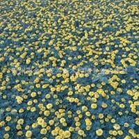 出售黄色 橘黄色孔雀草400-667-7727