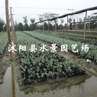 供应水果兰  (别名灌从石蚕)