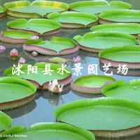 【水景�@��\�N】供���K北�@林水生花卉睡�(低�r批�l 可�黼�)