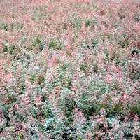 产地 紫叶小檗   *