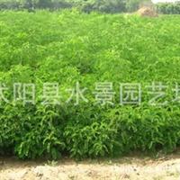 供应各种绿化苗木 紫穗槐 (棉槐、椒条、棉条、穗花槐)